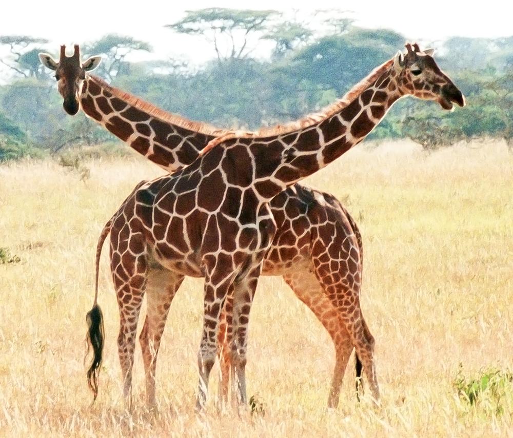 Giraffes on the Masai Mara